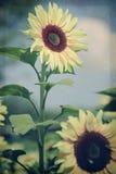 站起来的向日葵 库存照片