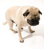 站起来的哈巴狗 免版税库存图片