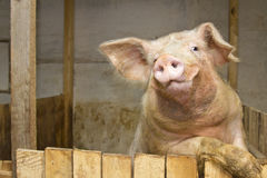 站起来的猪 免版税库存照片