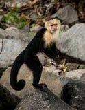 站起来连斗帽女大衣的猴子 免版税库存图片