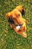 站起来beggiing的达克斯猎犬的缩样 库存照片