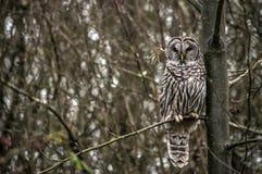 站起直接反对树的条纹猫头鹰 库存图片