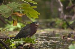 直站绿色的苍鹭,奥梅特佩岛,尼加拉瓜 库存照片