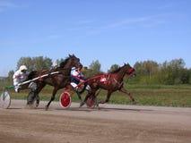 竞争马小跑品种新西伯利亚跑马场马和车手 库存图片