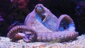 章鱼接近在水族馆 股票录像