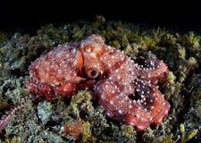 章鱼红色 免版税库存照片