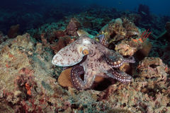 章鱼水下在安达曼海,泰国 免版税库存图片