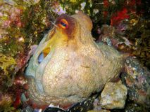 章鱼寻常的软体动物地中海 免版税库存图片