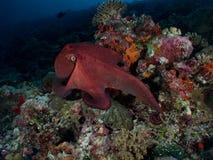 章鱼 图库摄影