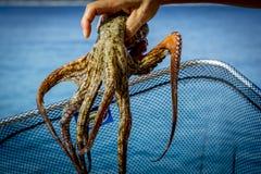 章鱼 免版税库存照片