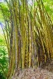 竹丛林在哥斯达黎加 免版税库存图片