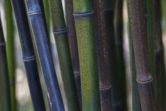 竹丛林 库存图片