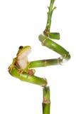 竹卷毛青蛙 免版税图库摄影