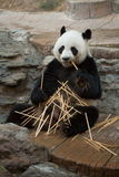 竹吃熊猫 库存图片