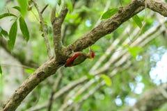 竹啄木鸟 免版税库存照片