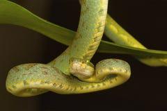 竹坑蛇蝎Trimeresurus gramineus 维沙卡帕特南,安得拉邦,印度 免版税库存图片