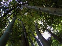 竹子冠在森林里 库存照片