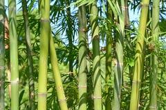 竹子发芽森林 免版税库存图片