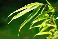 竹子叶子 免版税图库摄影