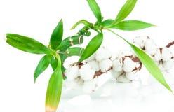 竹子和棉花枝杈植物 图库摄影