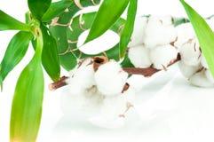 竹子和棉花枝杈 免版税图库摄影