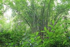 竹子在晴朗的狂放的密林森林里在东亚 库存照片