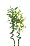 竹子培养了 免版税库存图片
