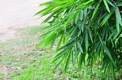 竹子新鲜的绿色叶子在庭院里 免版税库存图片