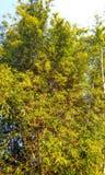 竹子树  图库摄影