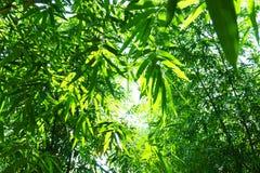 竹子的关闭在庭院,竹光山毛榉把绿色留在被种植 免版税库存照片