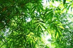 竹子的关闭在庭院,竹光山毛榉把绿色留在被种植 库存照片
