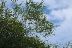 竹子离开与蓝天背景,与拷贝空间或文本的室 库存照片