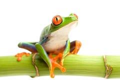 竹子被注视的青蛙红色结构树 免版税库存照片