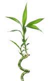 竹子被隔绝的白色 库存图片