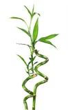 竹子被隔绝的白色 免版税库存照片