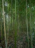竹子高丛林在森林里 免版税库存图片