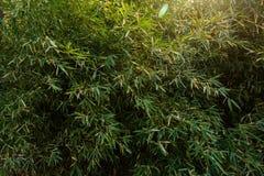 竹子 图库摄影