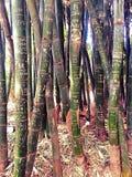 竹布里斯班的植物园 免版税库存图片