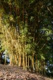 竹树丛高JPG解决方法 免版税库存照片