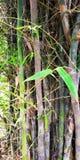竹树和他们的叶子 免版税库存图片