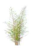 年轻竹树 免版税库存照片
