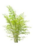 年轻竹树 免版税库存图片