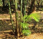 竹树 免版税库存图片