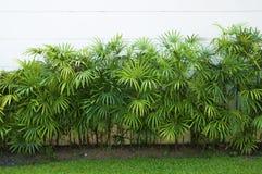 竹棕榈或棕竹绿色叶子  免版税库存照片