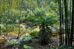竹森林和spinulose树蕨 库存图片