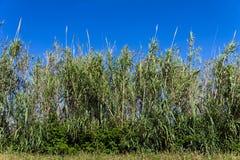 年轻竹森林在一个晴天 免版税库存照片