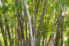 竹森林在密林 库存图片