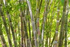 竹森林在密林 免版税库存图片