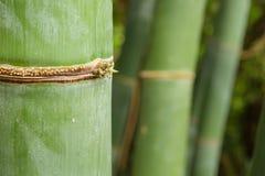 竹森林茎细节与另外绿色和黄色hu的 免版税图库摄影