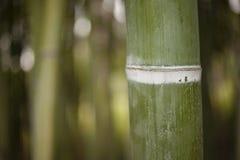 竹森林茎细节  库存照片